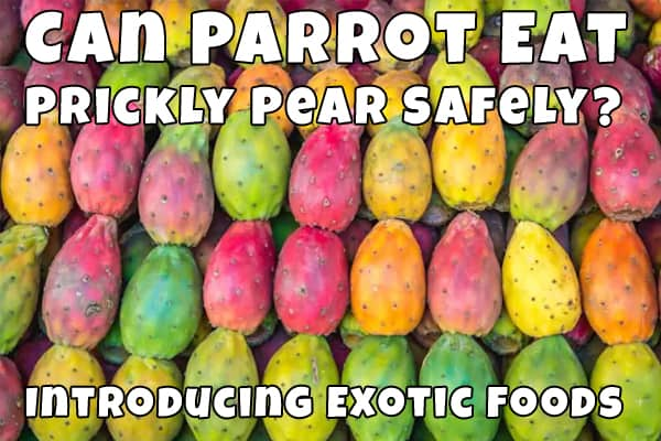do parrots eat prickly pear